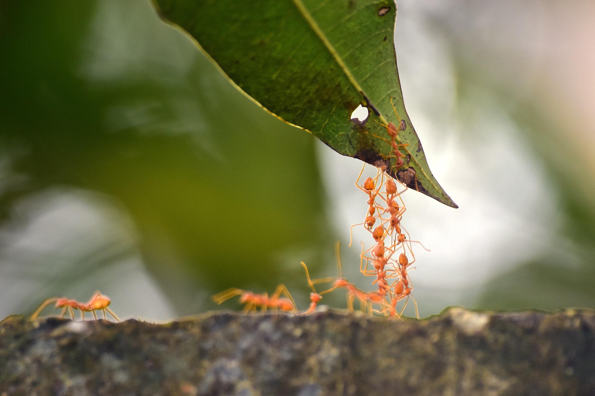Ameisen, die gemeinsam eine Brücke bauen